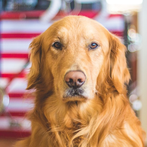 Image of golden retriever dog  from The Compounding Lab in Dayton, Ohio.